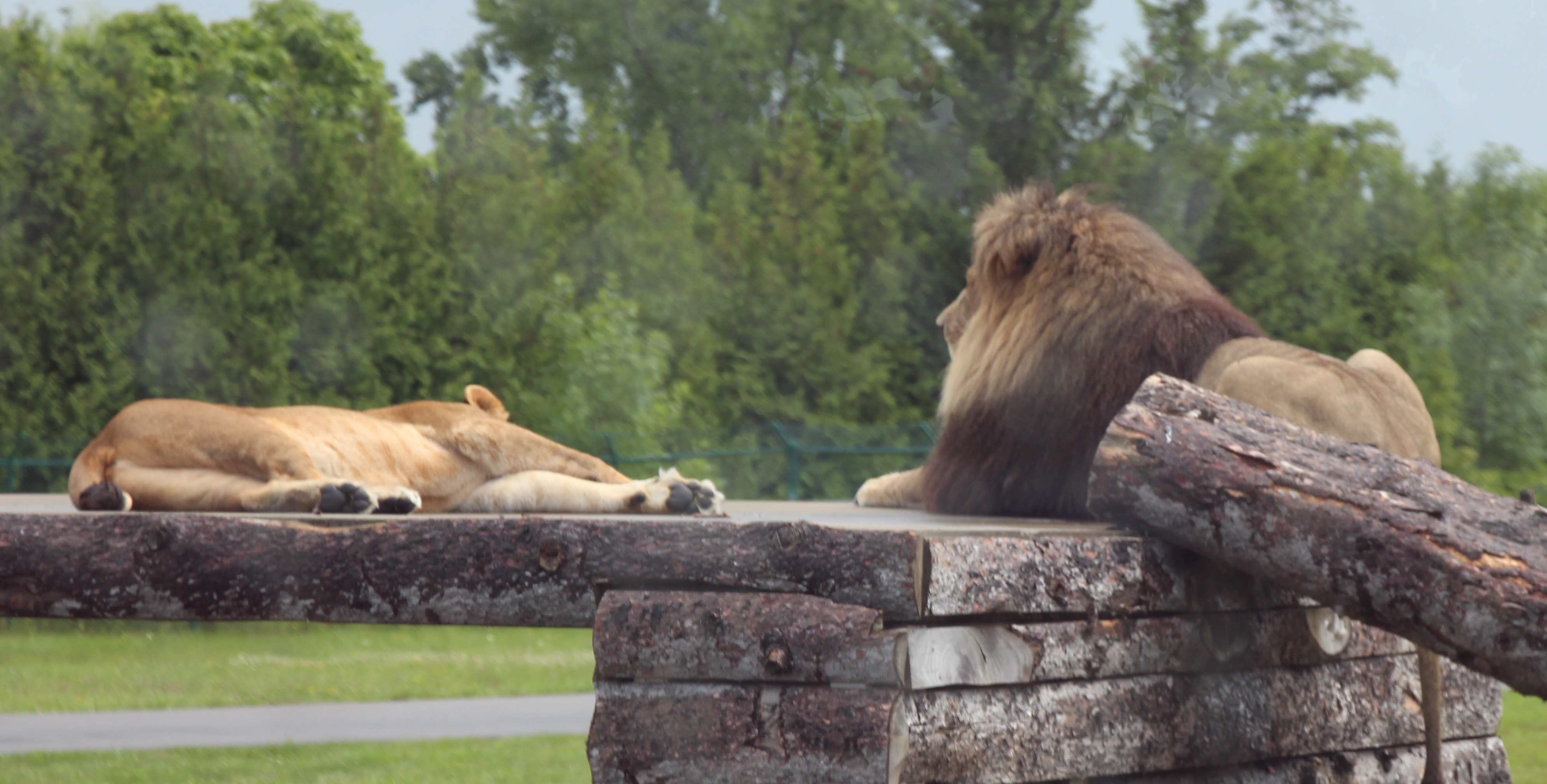 Bored Lions